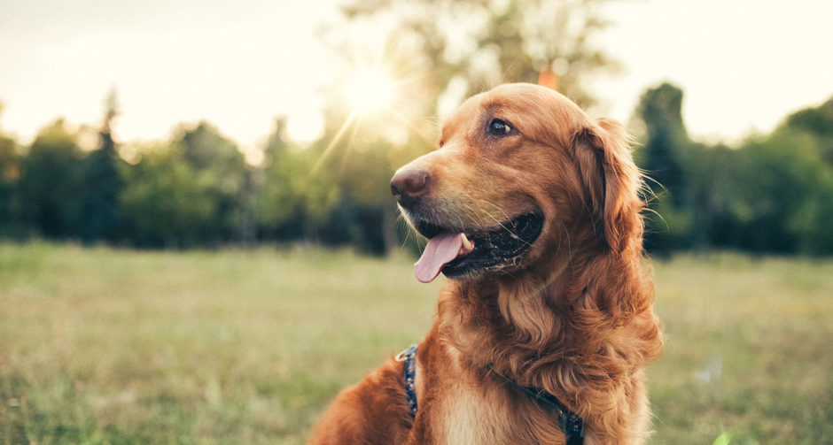 How to keep your golden retrievers healthy against cancer