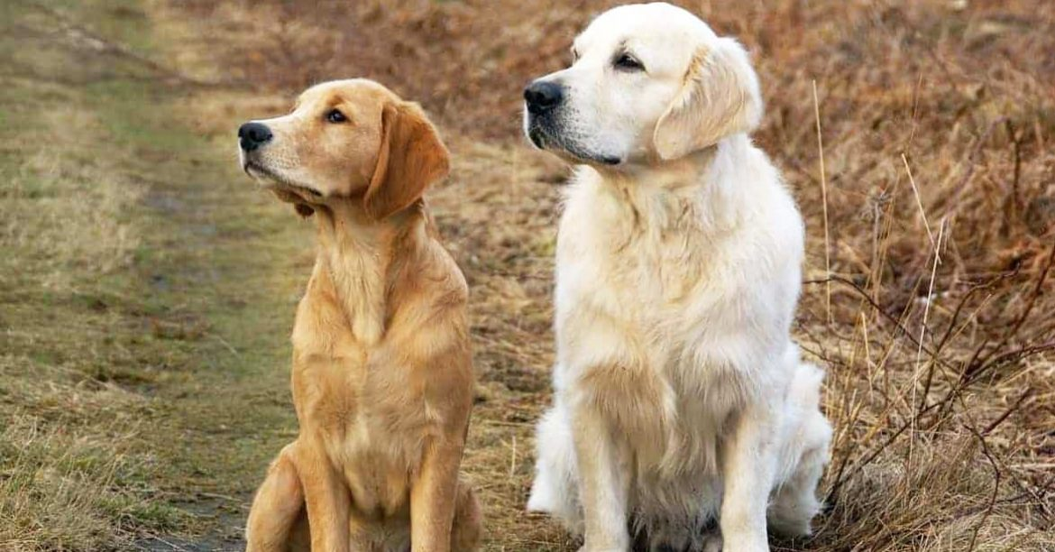 Golden Retriever Breed Diseases and Health Problems